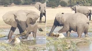 Il coccodrillo minaccia il cucciolo di elefante, interviene la madre che lo calpesta a morte