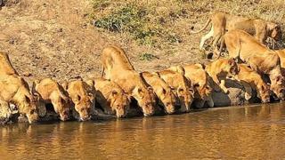 Una accanto all'altra: ecco come si abbeverano queste leonesse