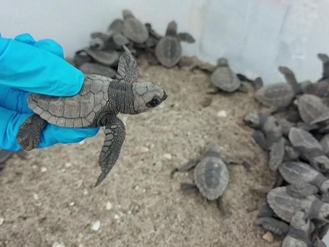 Panama, il viaggio delle tartarughe marine Hatchling verso l'oceano