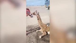 Il cucciolo di giraffa assetato nel Kenya devastato dalla siccità