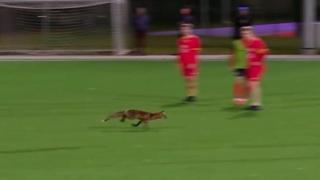 Estonia, la volpe fa invasione di campo