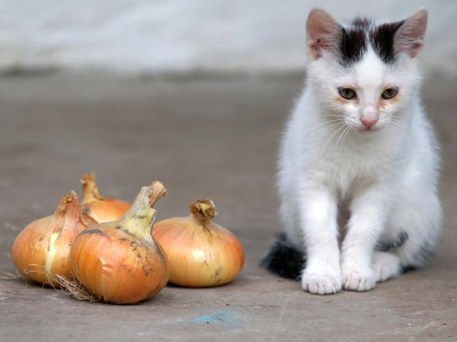 Sapevate che la cipolla può uccidere il gatto? Quei no che aiutano gli animali