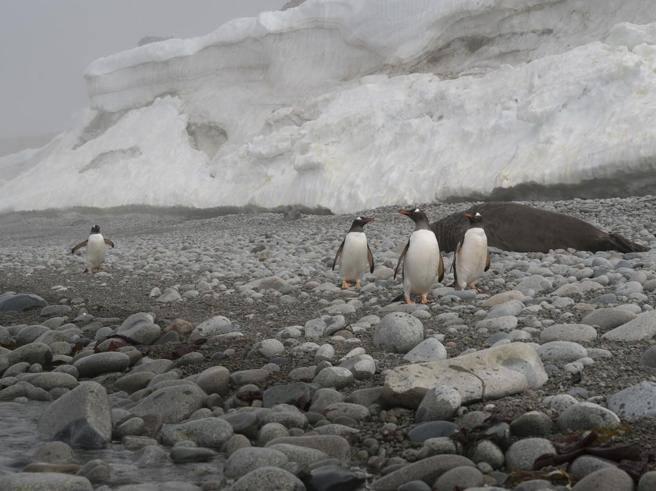 Così il cambiamento climatico uccide i pinguini: in Antartide colonie ridotte del 60%
