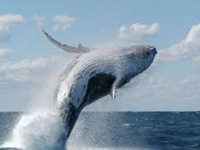 L'incredibile resilienza delle balene   e la capacità di recupero degli oceani