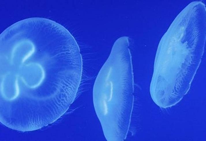 Meduse, un universo trasparente Un viaggio lungo 600 ...
