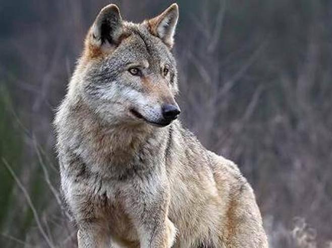 Attenti al lupo la germania in preda alla sindrome di cappuccetto rosso - La germania cucine opinioni ...
